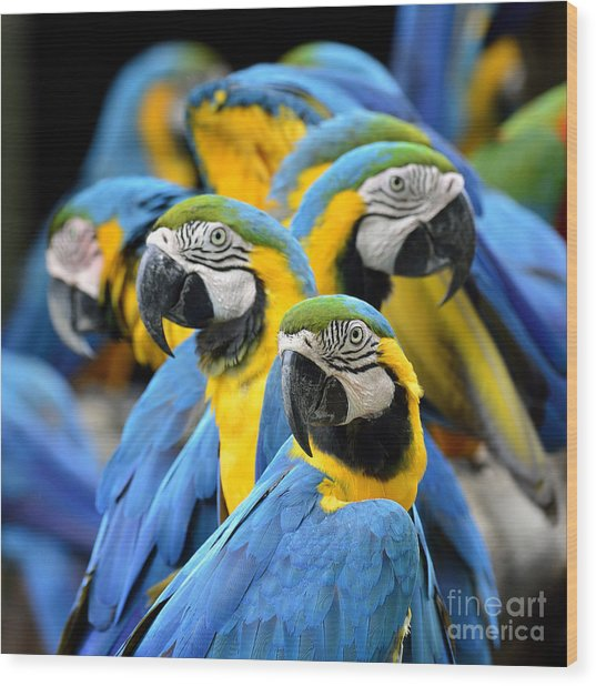 Many Of Blue And Gold Macaw Perching Wood Print by Super Prin