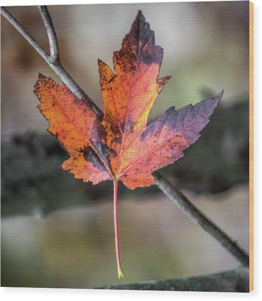 Wood Print featuring the photograph Maple 1 by Michael Arend