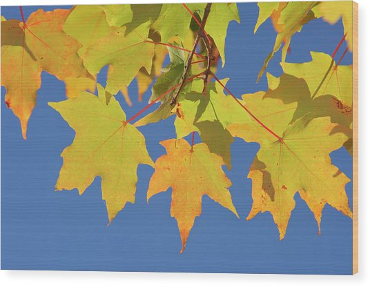 Maple Acer Sp. Autumn Leaves Against Wood Print
