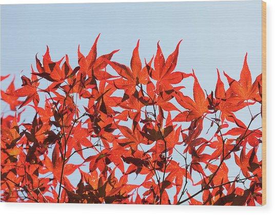 Maple Tree Foliage Wood Print by Andrew Dernie