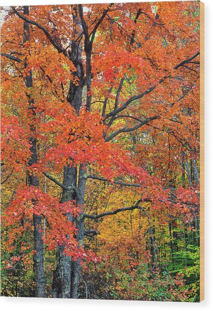Maple Tree In Belknap Mountains, New Wood Print