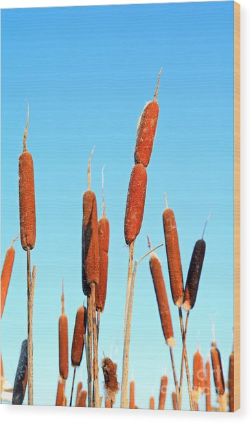 Marsh Bulrush On Celestial Background Wood Print