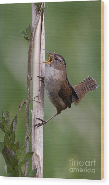 Marsh Wren In The Green Wood Print