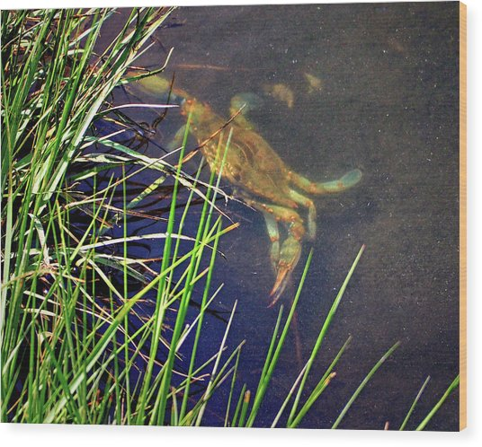 Wood Print featuring the photograph Maryland Blue Crab Lurking In An Assateague Marsh by Bill Swartwout Fine Art Photography