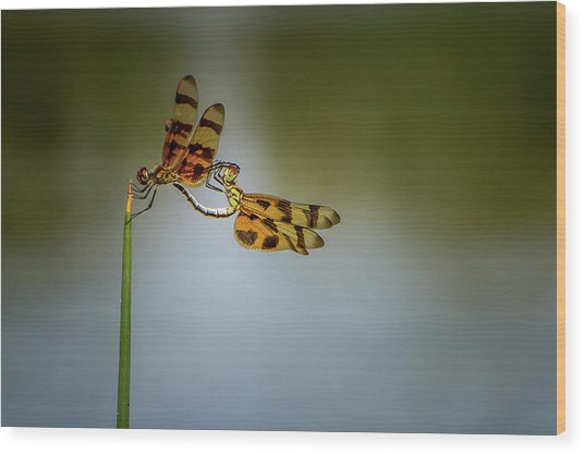 Mating Dragonflies Wood Print