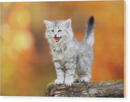 Meowing Little Baby Kitten Autumn Wood Print by Kim Partridge/partridge-petpics