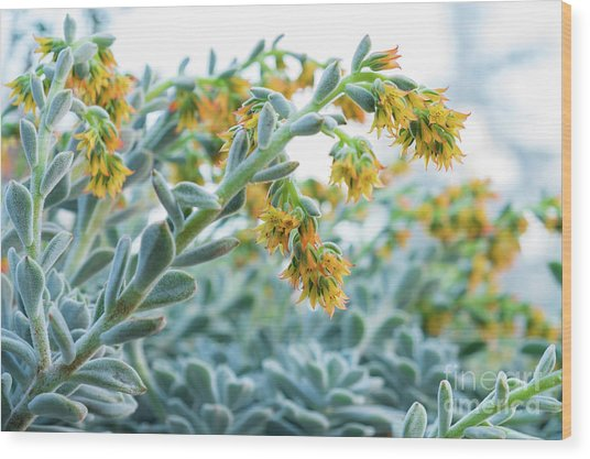 Mexican Echeveria In The  Morning Wood Print