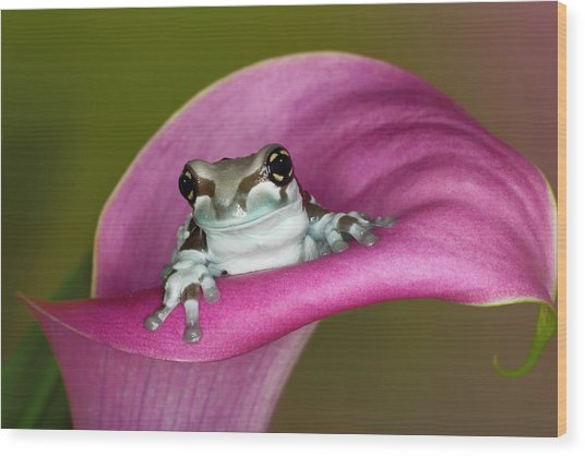 Mission Golden-eyed Tree Frog Or Milk Wood Print by Adam Jones