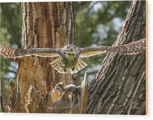 Momma Great Horned Owl Blasting Out Of The Nest Wood Print