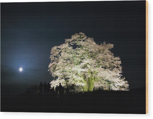 Month Old And A Large Cherry Tree Wood Print