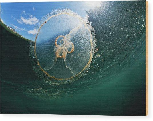 Moon Jellyfish, Alaska Wood Print