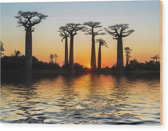 Morondava, Baobab Alley Wood Print by Gabrielle Therin-weise