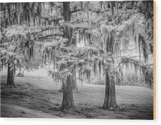 Moss Laden Trees 4132 Wood Print