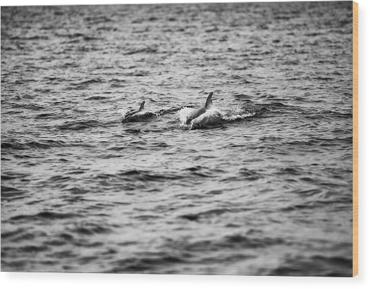 Mother Dolphin And Calf Swimming In Moreton Bay. Black And White Wood Print