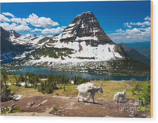 Mountain Goats And Hidden Lake, Glacier Wood Print