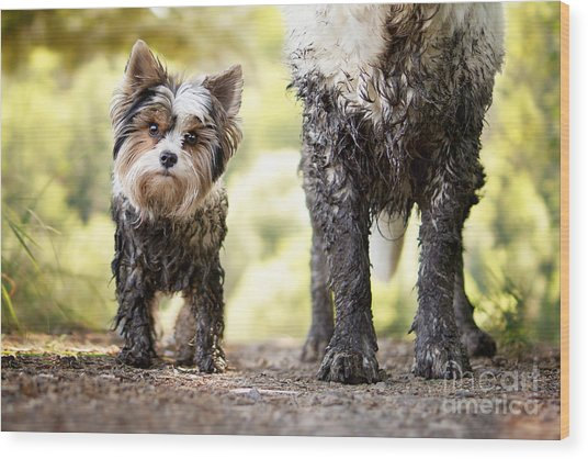 Muddy Little Dog Stands Next To A Muddy Wood Print by Stickler