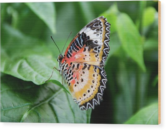 Multi Colored Butterfly Wood Print