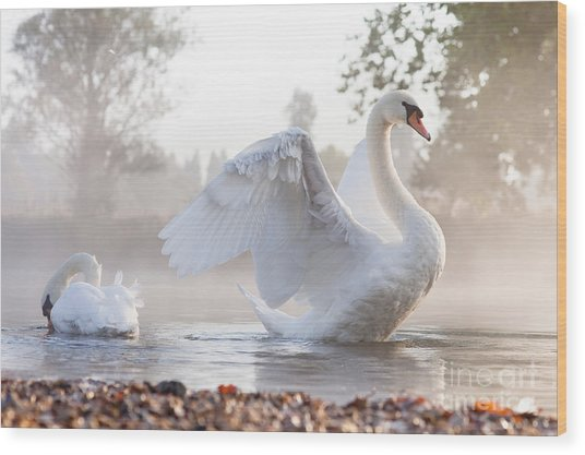 Mute Swan Cygnus Olor Stretching On A Wood Print