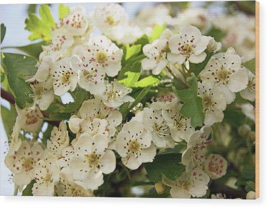 Neston.  Hawthorn Blossom. Wood Print