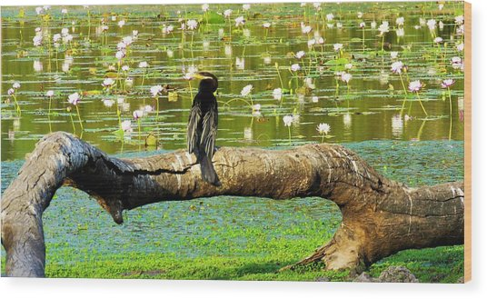 Wood Print featuring the photograph Never Mind The Crocodiles, Australasian Darter by Joan Stratton
