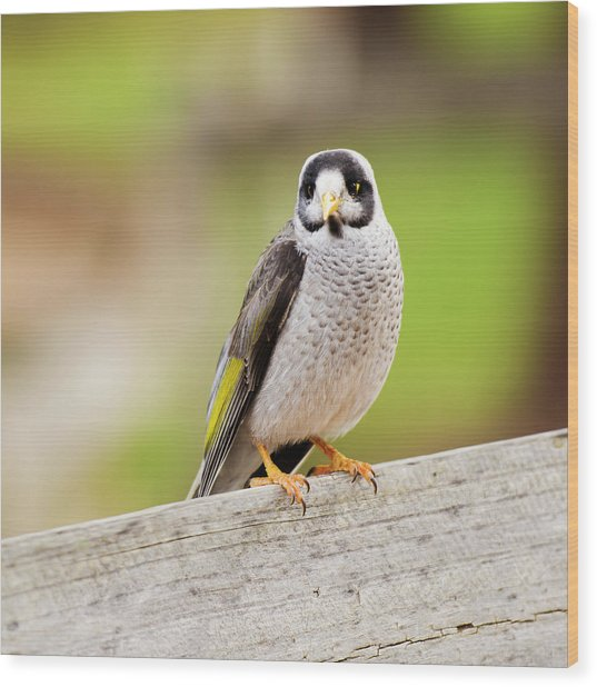 Noisy Miner Wood Print