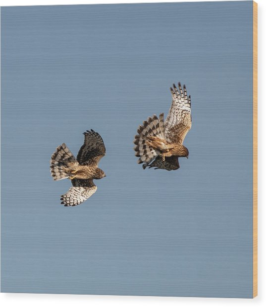 Northern Harriers 7 Wood Print