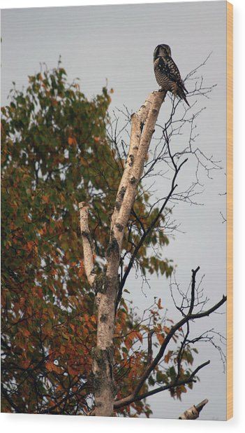 Northern Hawk Owl 101402 Wood Print