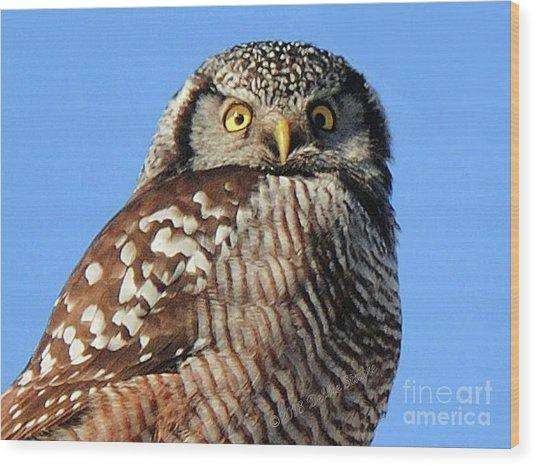Northern Hawk-owl Wood Print