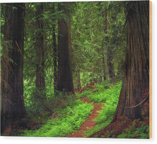 Old Growth Cedars Wood Print by Leland D Howard