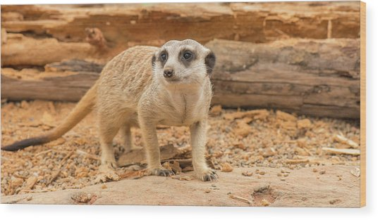 One Meerkat Looking Around. Wood Print