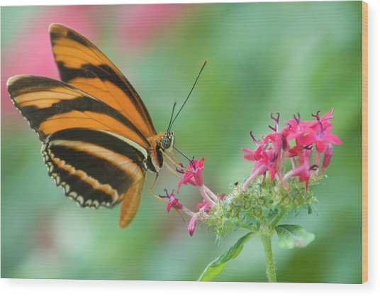 Orange Butterfly Feeding On Pink Flowers Wood Print by By Ken Ilio