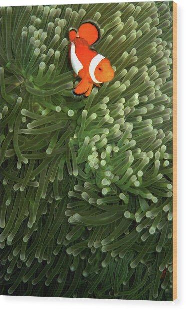 Orange Fish With Yellow Stripe Wood Print
