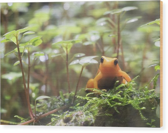Wood Print featuring the photograph Orange Frog. by Anjo Ten Kate