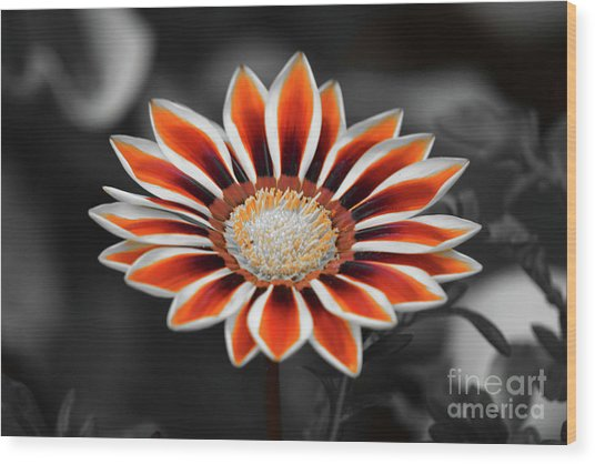 Wood Print featuring the photograph Orange Only Gazania by Patti Whitten