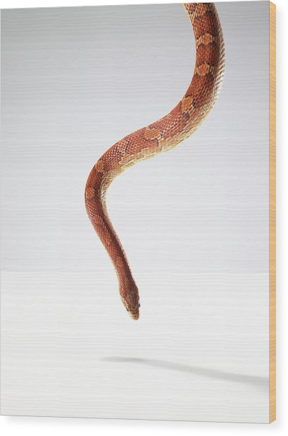 Orange Snake Hovering Above The Table Wood Print by Michael Blann