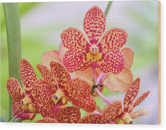 Orange Spotted Orchids Wood Print