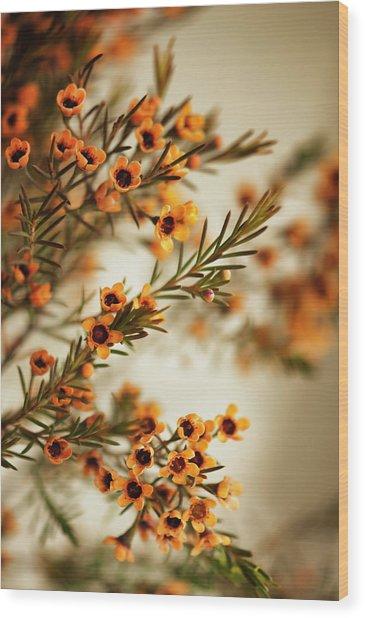 Orange Waxflowers Chamaelaucium Wood Print by Maria Mosolova