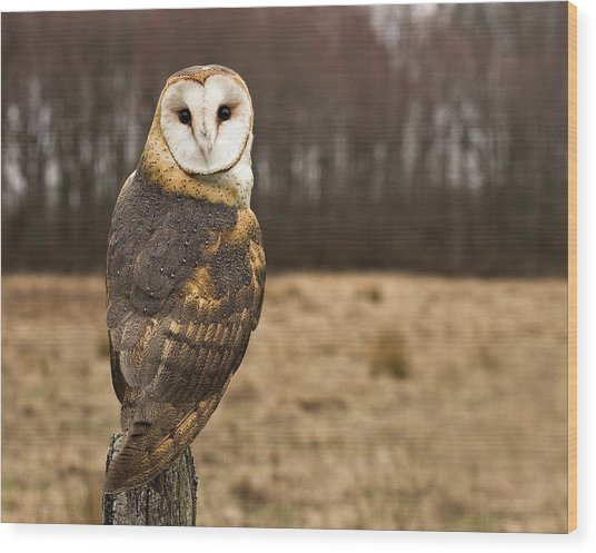 Owl Looking At Camera Wood Print