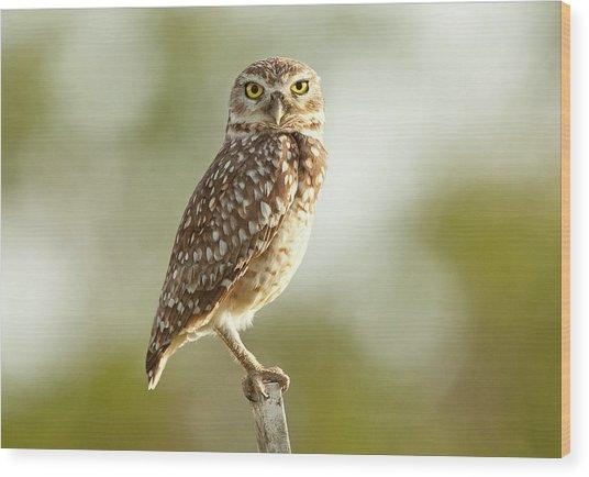 Owl On Blurred Background Wood Print by © Jackson Carvalho