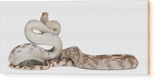Pacific Gopher Snake Pituophis Catenifer Wood Print