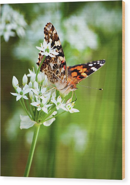 Painted Lady II Wood Print
