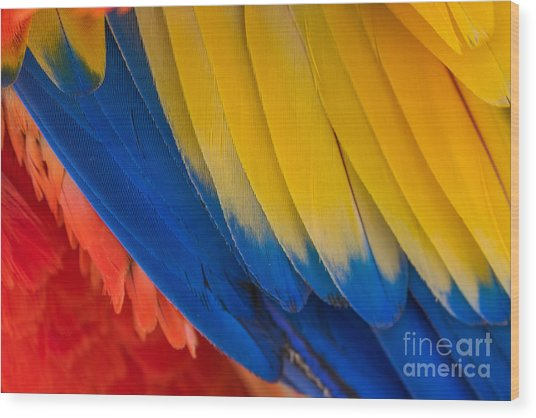 Parrot. Multi-colored Feathers. Macaw Wood Print