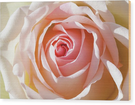 Soft As A Rose Wood Print