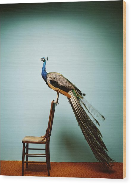 Peacock Pavo Cristatus On Chair Wood Print