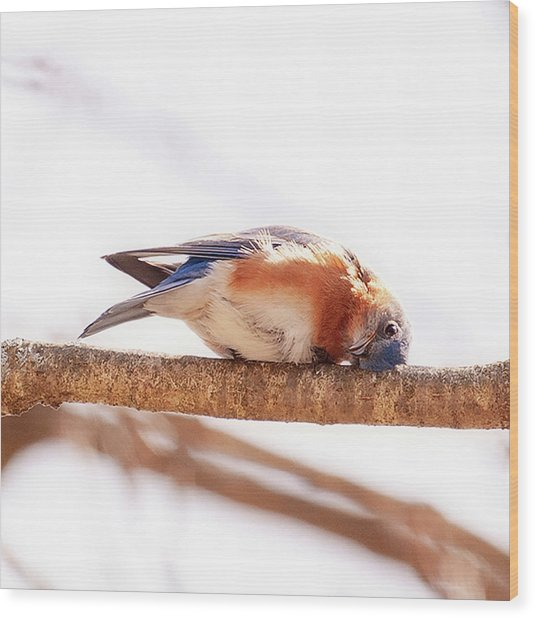 Peek-a-boo Blue Bird Wood Print