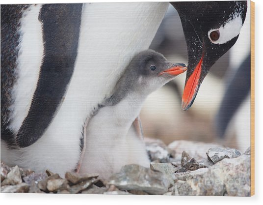 Penguin In Its Nest To Protect Her Cub Wood Print