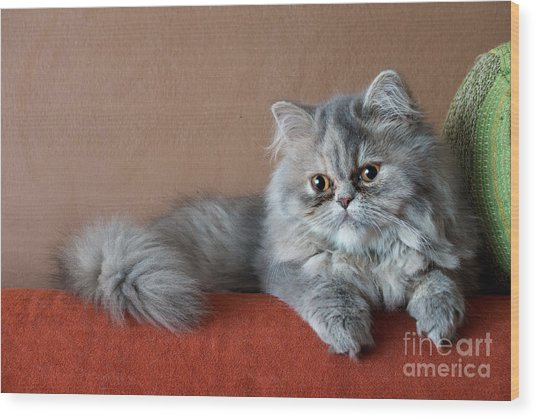 Persian Cat On The Couch Wood Print