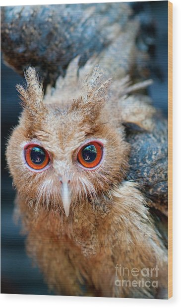 Philippine Eagle-owl Owlet Assuming A Wood Print