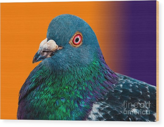 Pigeon Close Up Portrait Isolated In Wood Print