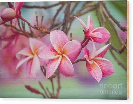 Pink Color Frangipani Flower Beauty Wood Print by Focusstocker